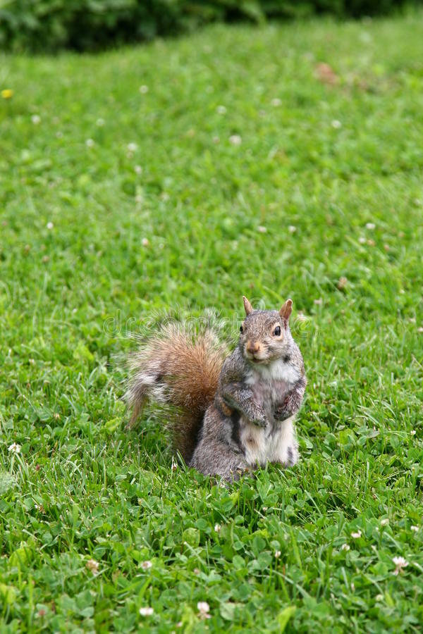 A squirrel at Jardin Botanique. At Montreal stock photography