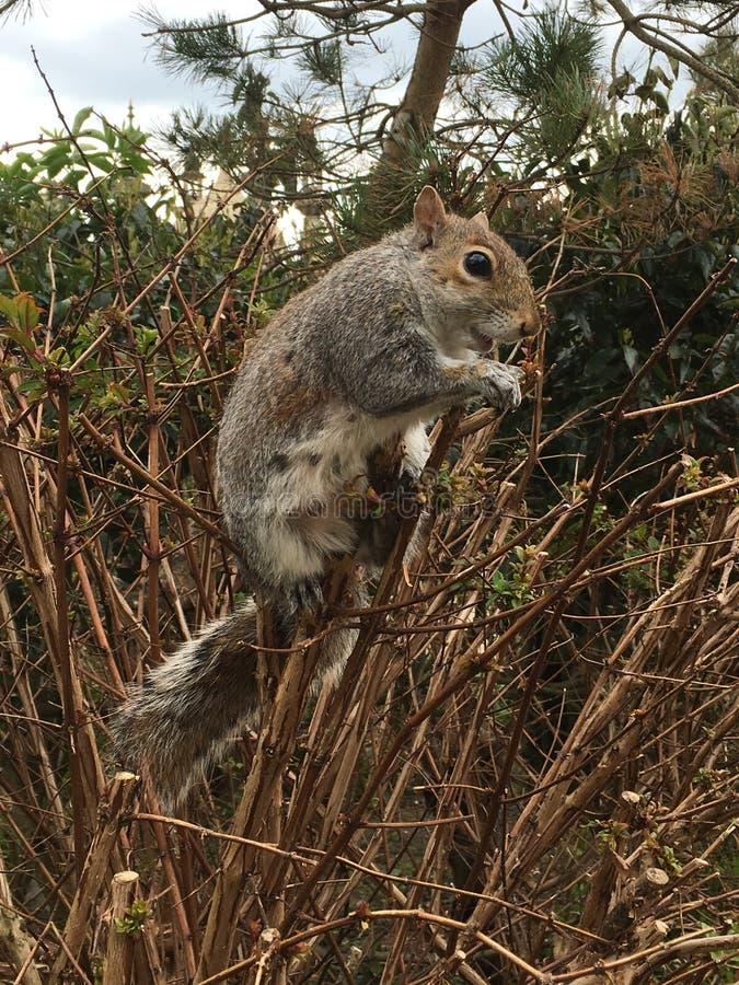 Squirrel la seduta sul cespuglio nel Pavillion, Brighton immagini stock