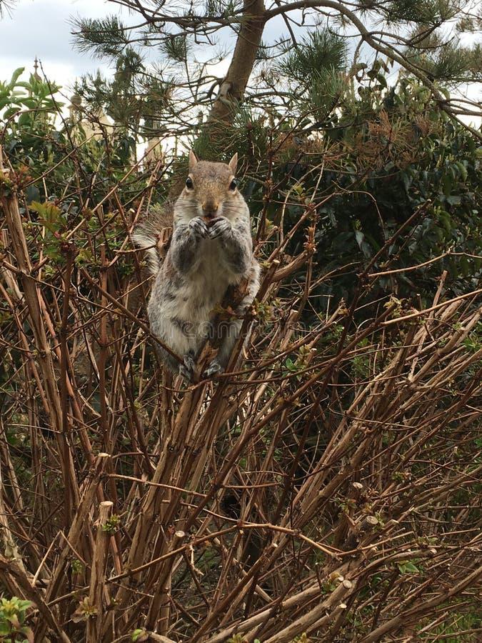 Squirrel la seduta sul cespuglio nel Pavillion, Brighton fotografie stock