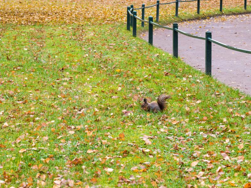 Squirrel among the leaves in the autumn park alley. Squirrel in Pavlovsk Park, buries the nut into the ground royalty free stock photography