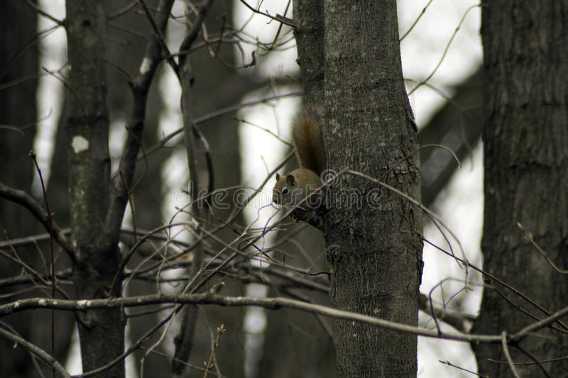 Download Squirrel on a Limb stock photo. Image of spring, forest - 91251406