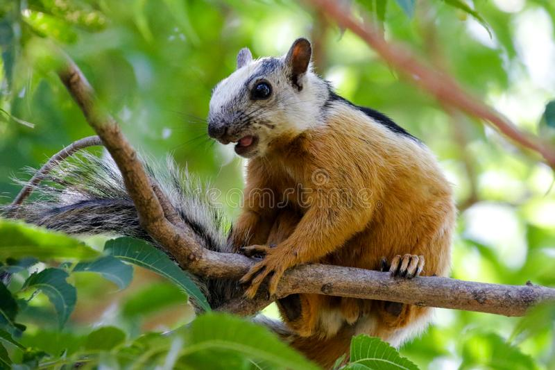 Squirrel located near Tamarindo, Costa Rica. An isolated view of a Variegated squirrel, also known as Sciurus variegatoides atrirufus royalty free stock photos