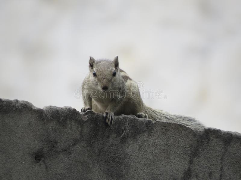 Squirrel looking me. royalty free stock image