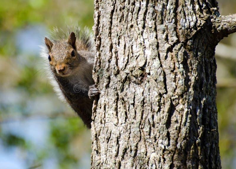 Squirrel looking at you. Grey Squirrel peering around tree in backyard Athens Georgia stock image