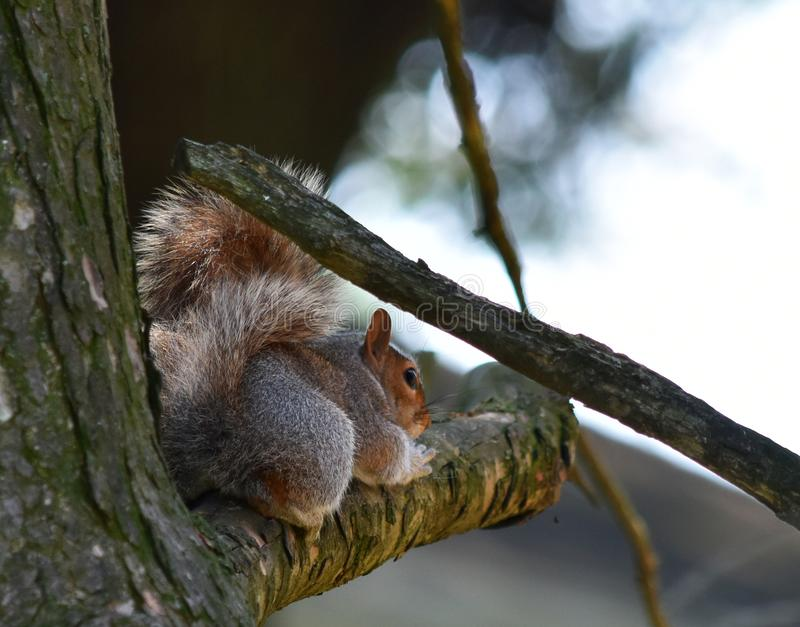 Squirrel Butt royalty free stock photography