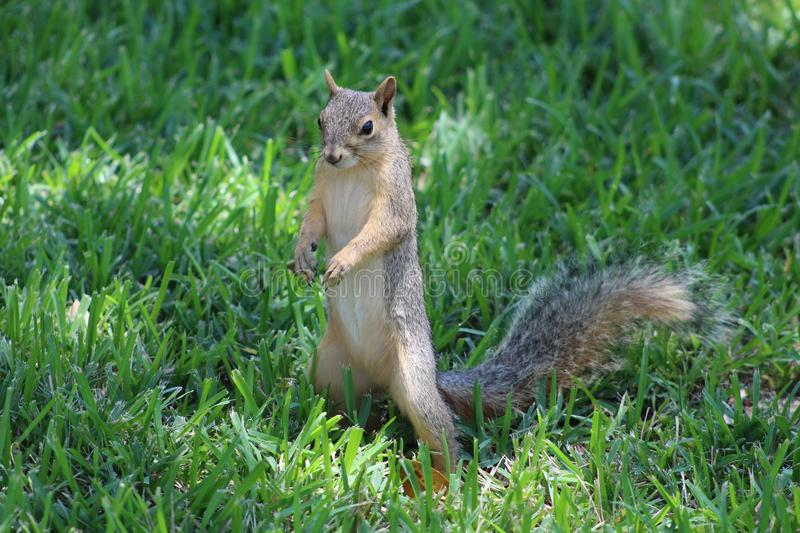 Squirrel, Mammal, Fauna, Fox Squirrel stock photography