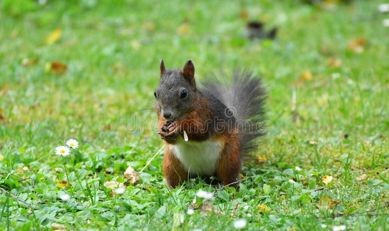 Squirrel, Mammal, Fauna, Fox Squirrel royalty free stock images
