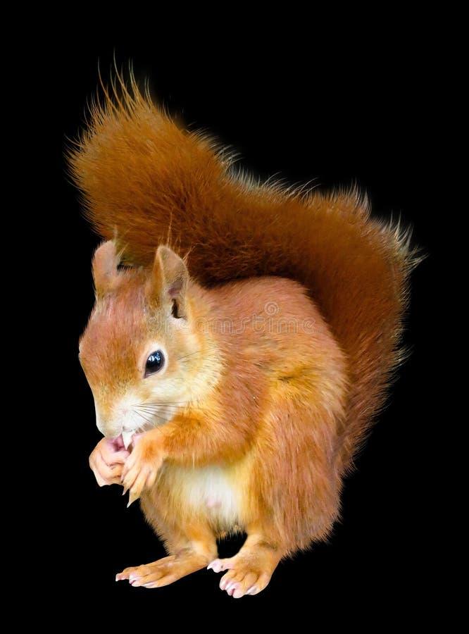 Squirrel, Mammal, Fauna, Rodent Free Public Domain Cc0 Image
