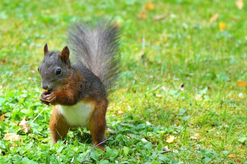 Squirrel, Mammal, Fauna, Wildlife Free Public Domain Cc0 Image