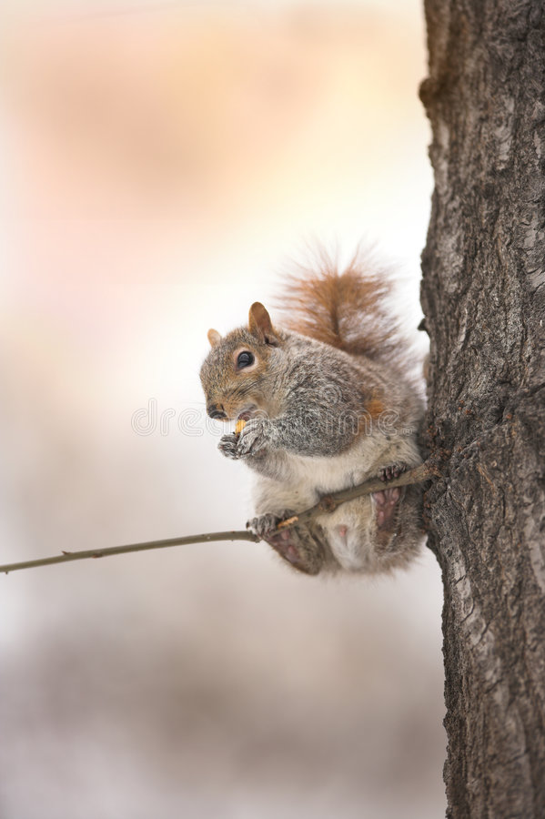 Free Squirrel - Manhattan Royalty Free Stock Photo - 3269155