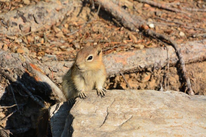 Squirrel, Minnewanka lake Banff national park. In Canada stock photography