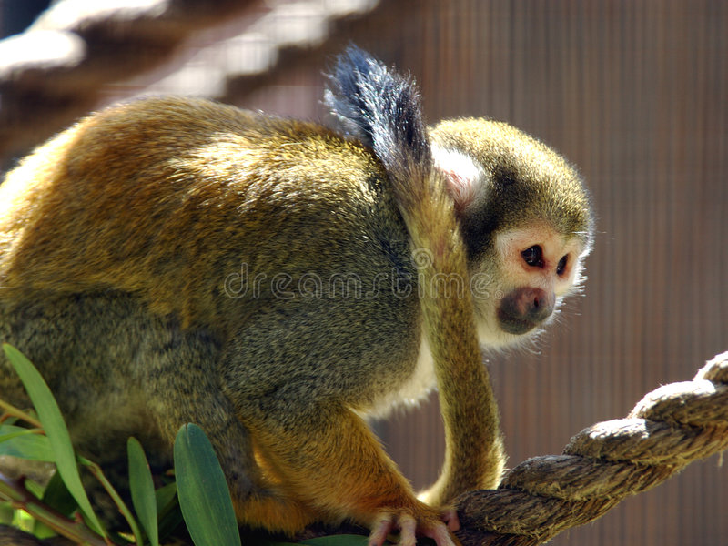 Download Squirrel Monkey stock photo. Image of squirrel, endangered - 114264