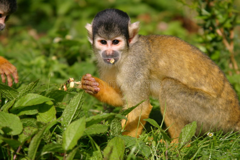 Download Squirrel monkey stock image. Image of meal, curious, squirrel - 150563