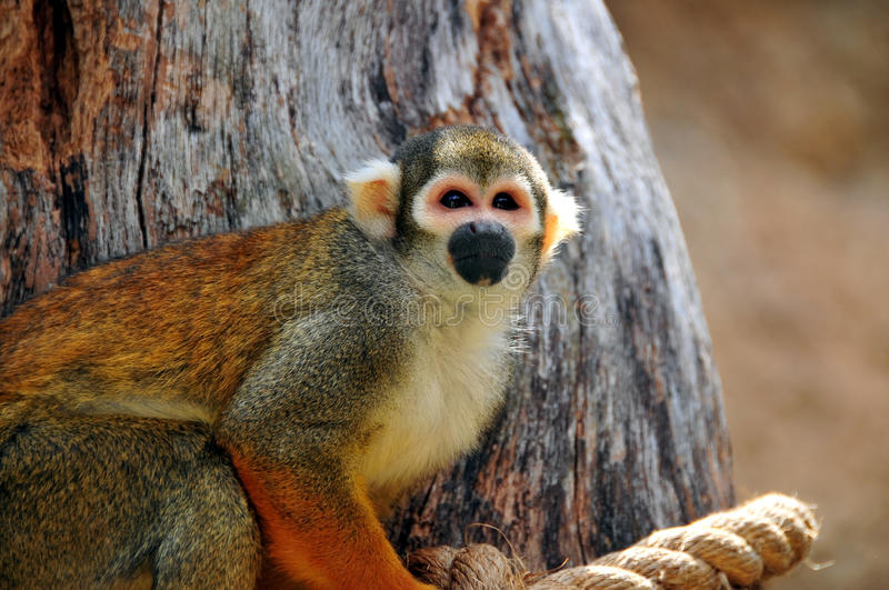 Download Squirrel Monkey stock image. Image of cute, closeup, brazil - 18865487
