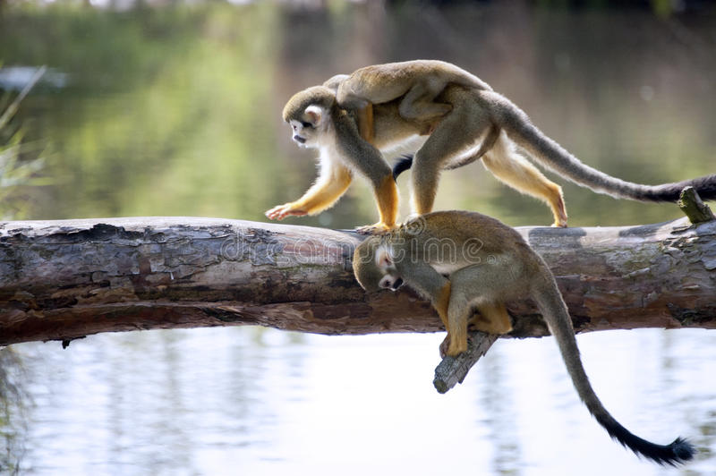 Squirrel monkeys royalty free stock images