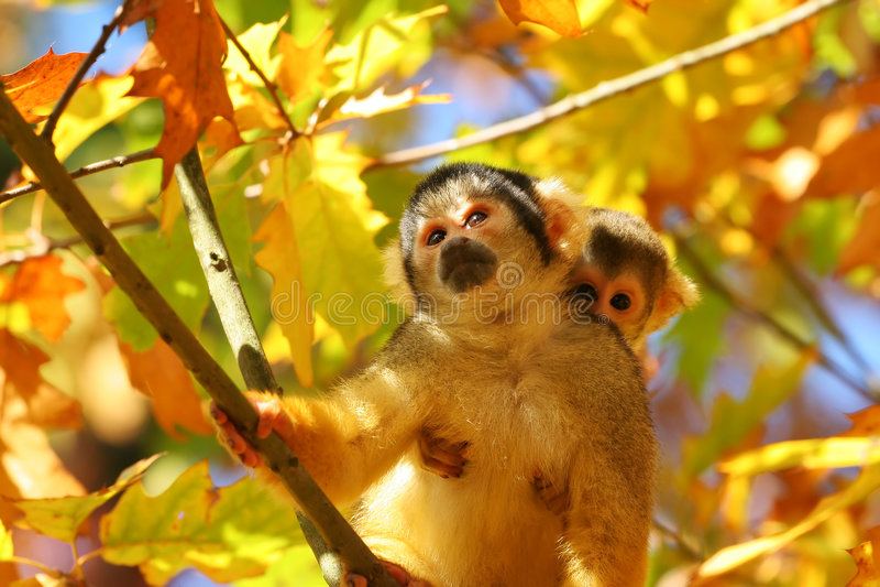 Squirrel monkey royalty free stock image