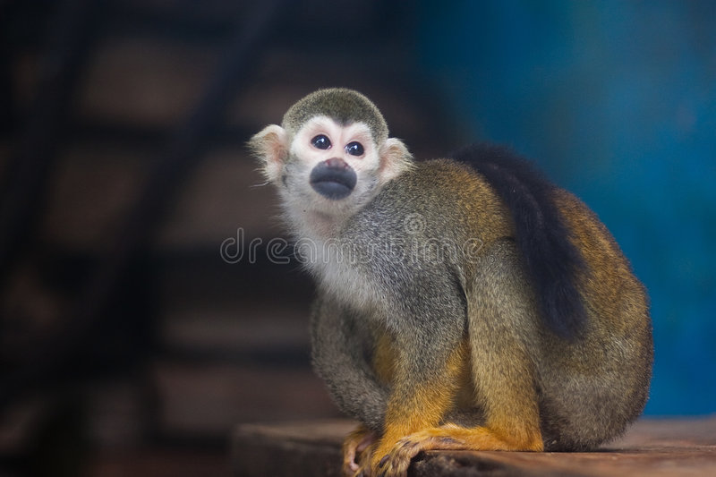 Download Squirrel Monkey stock photo. Image of extinct, curious - 8402350