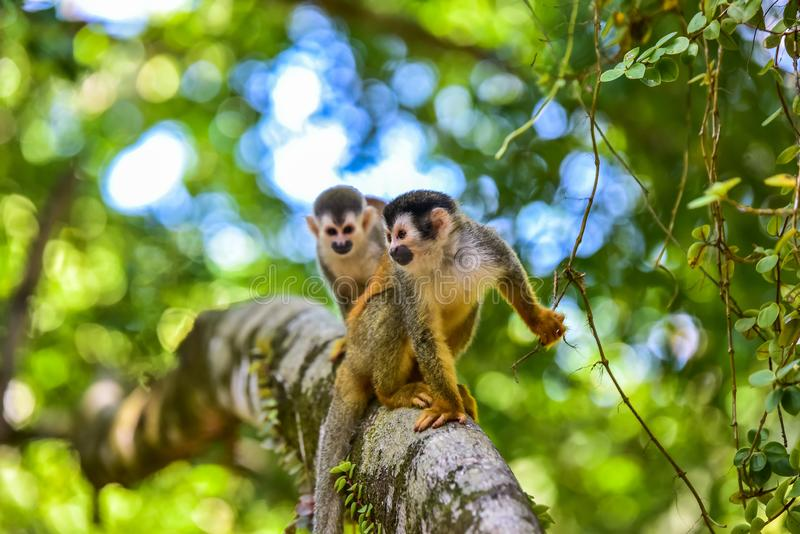 Squirrel Monkey on branch of tree - animals in wilderness royalty free stock images