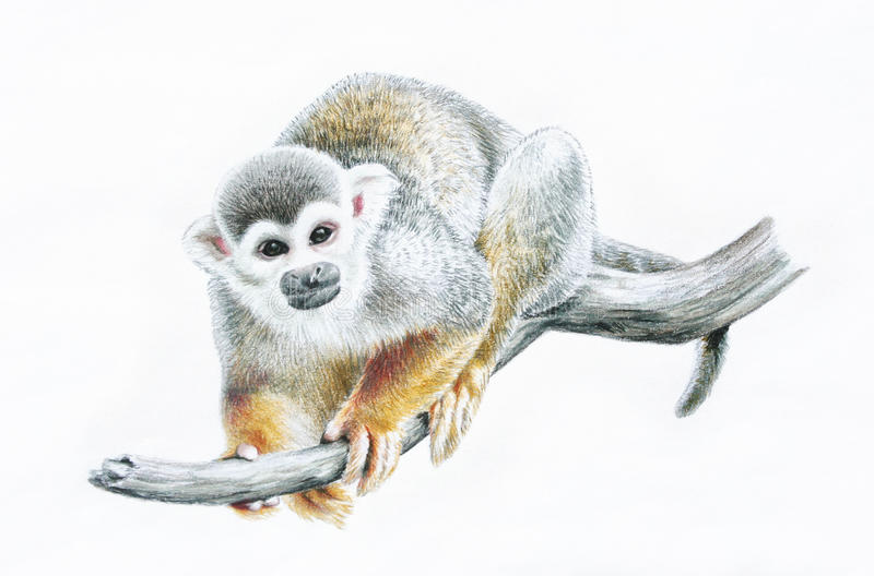 Squirrel monkey on branch, zoo animal color pencil illustration royalty free stock image