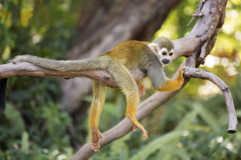 Squirrel monkey on a branch. In zoo of Thailand royalty free stock photos