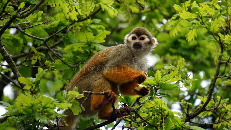 Squirrel Monkey In Branches Of Tree Free Public Domain Cc0 Image