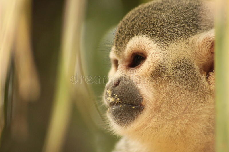 Squirrel monkey. Animal photography: Close- up of the head of a squirrel monkey royalty free stock photos