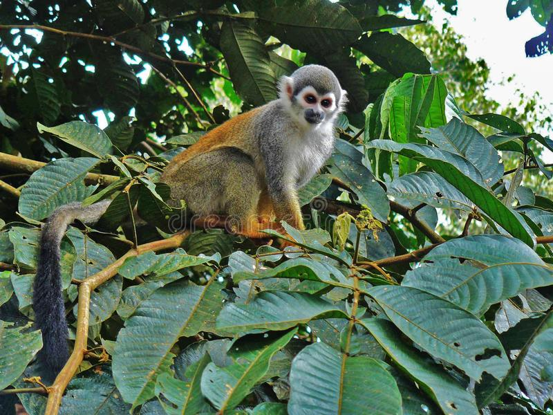 Squirrel monkey in the forest looking down at us from a tree. In the jungle of ecuador royalty free stock image