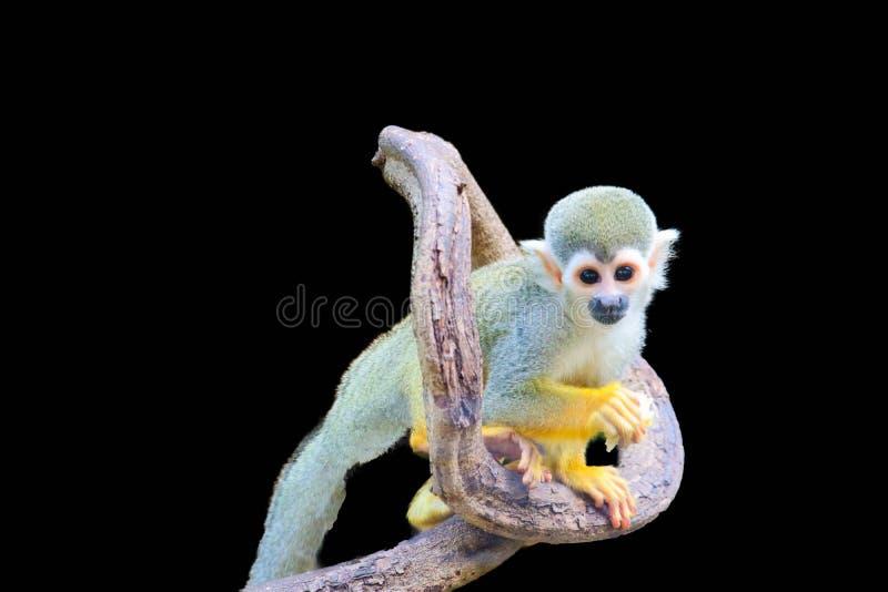 Squirrel Monkey isolated. On black background stock photo