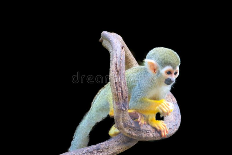 Squirrel Monkey isolated. On black background royalty free stock photography