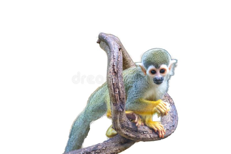 Squirrel Monkey isolated. On white background royalty free stock images