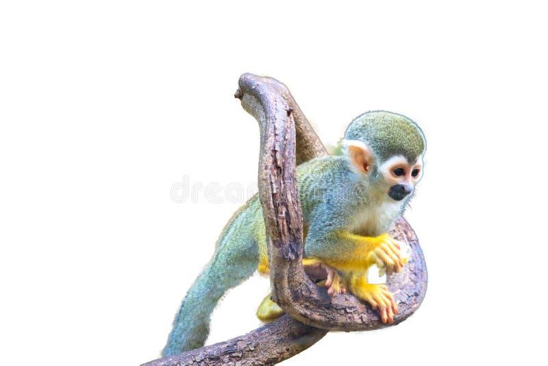 Squirrel Monkey isolated. On white background stock photography