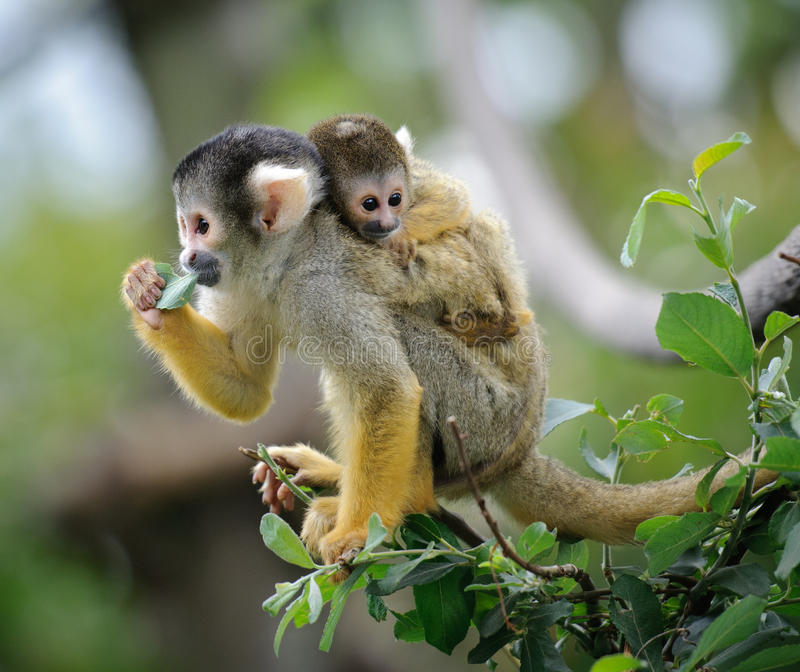 Squirrel monkey with its baby royalty free stock photos