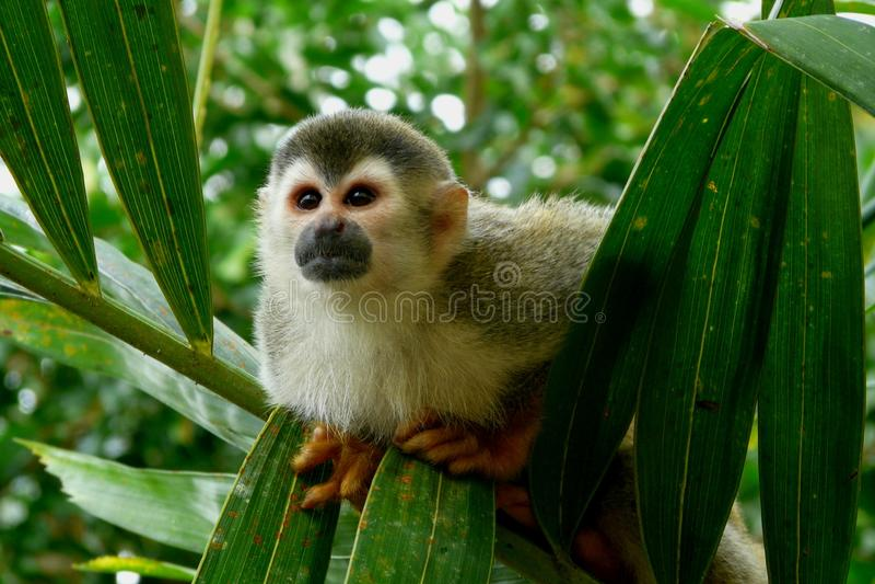 Squirrel Monkey in Manuel Antonio National Park, C. Osta Rica royalty free stock photos