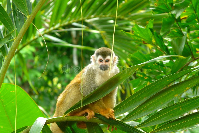 Squirrel Monkey in Manuel Antonio National Park, Costa Rica. Squirrel Monkey on a branch in Manuel Antonio National Park, Costa Rica stock photography