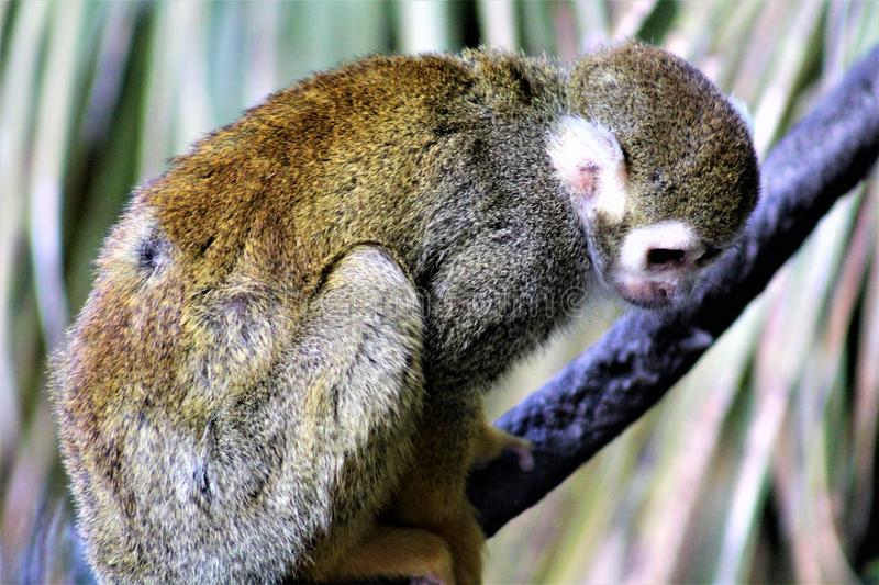 Squirrel Monkey, New World Monkeys, Phoenix Zoo, Phoenix, Arizona. Squirrel Monkey, New World Monkeys, primates are located in Phoenix, Arizona, United States at royalty free stock photos