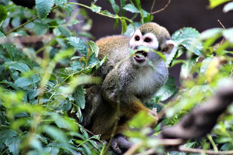 Squirrel Monkey, New World Monkeys, Phoenix Zoo, Phoenix, Arizona. Squirrel Monkey, New World Monkeys, primates are located in Phoenix, Arizona, United States at royalty free stock images