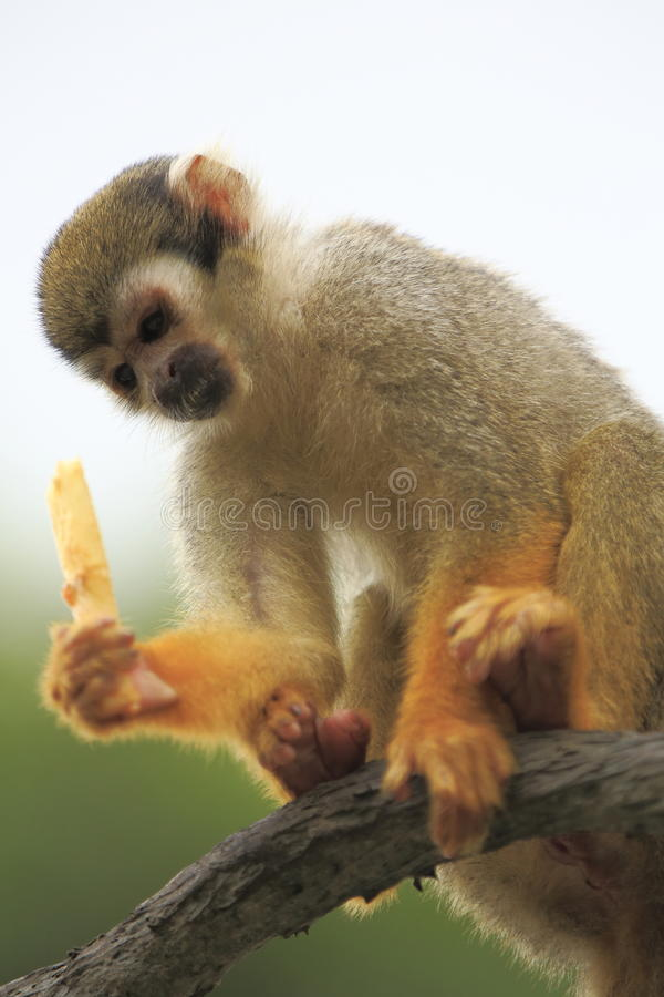 Squirrel Monkey 3 Stock Photography