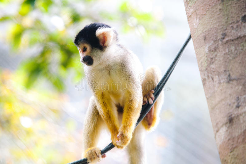 Squirrel Monkey plays on rope - Bolivia stock image
