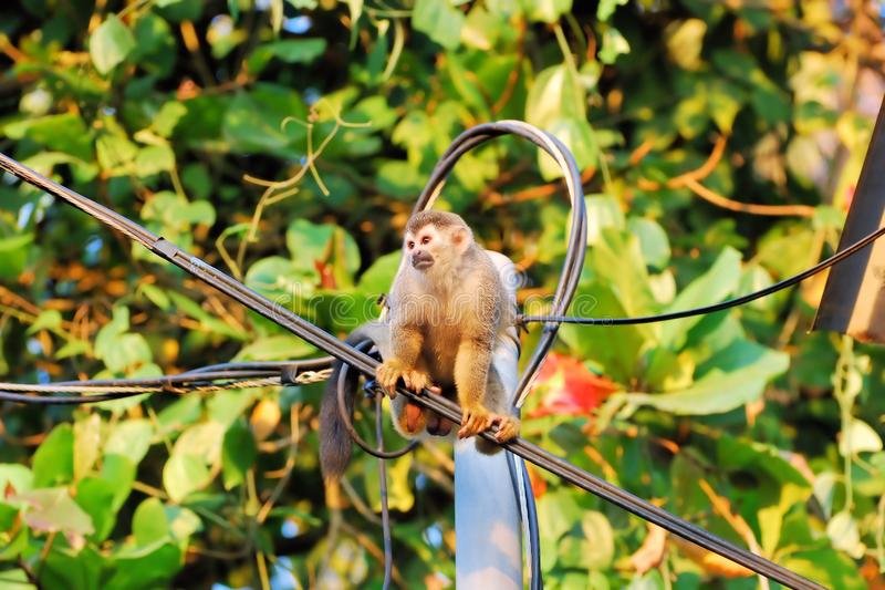 Squirrel monkey sitting on a line, Costa Rica, Manuel Antonio. Squirrel monkey sitting on a power line with black-and-white face, New World monkey, Costa Rica royalty free stock photos