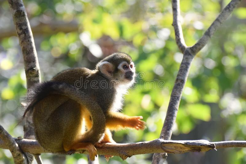 Squirrel monkey sitting on a tree branch in a leafy natural forest. A cute squirrel monkey in a leafy natural location sitting on a branch. Full animal capture royalty free stock image
