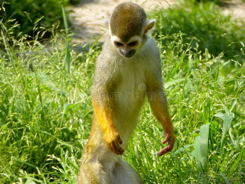 A Squirrel monkey standing on the grass royalty free stock photography