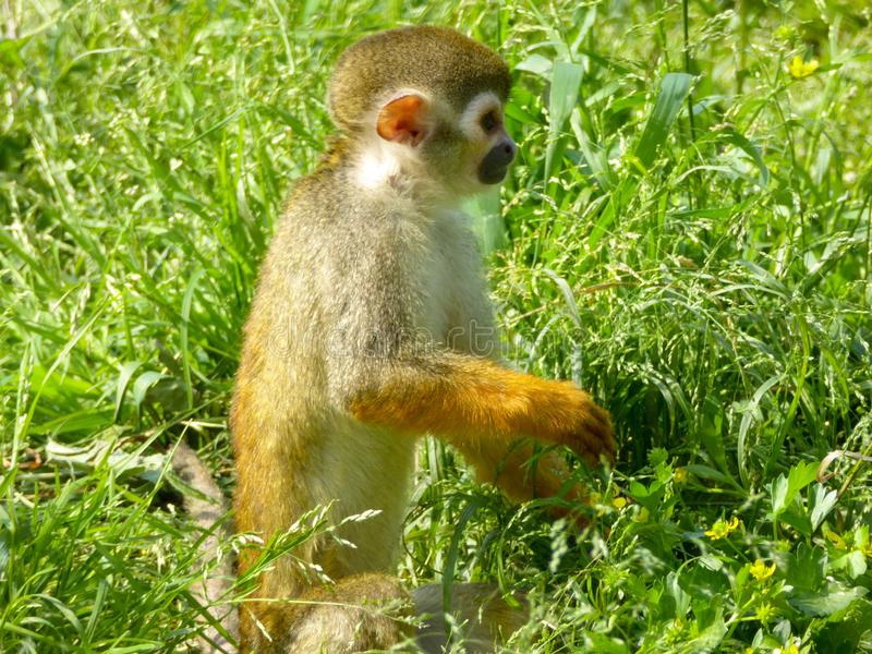 A Squirrel monkey standing on the grass royalty free stock photos