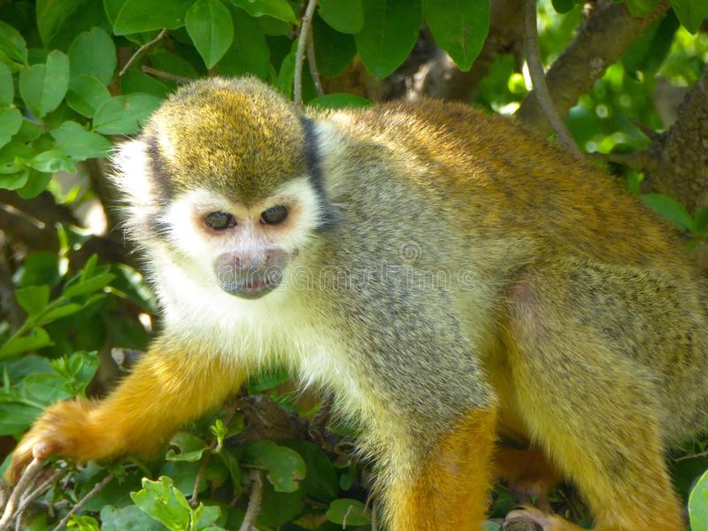 A Squirrel monkey on a tree royalty free stock photos