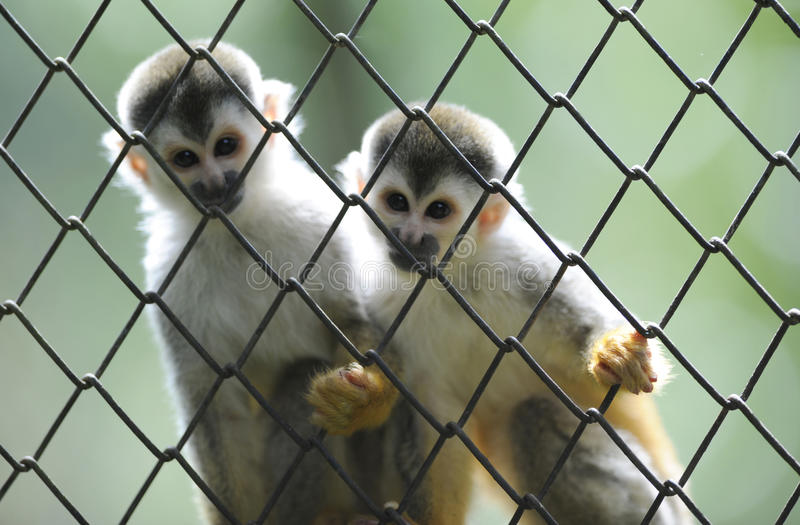 Squirrel monkey twins wildlife reserve,costa rica. Squirrel monkey brothers looking thru fence, wildlife reserve, costa rica, central america stock photo