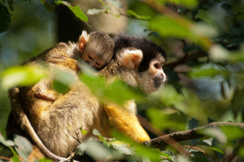Download Squirrel monkey with young stock image. Image of squirrel - 25366705