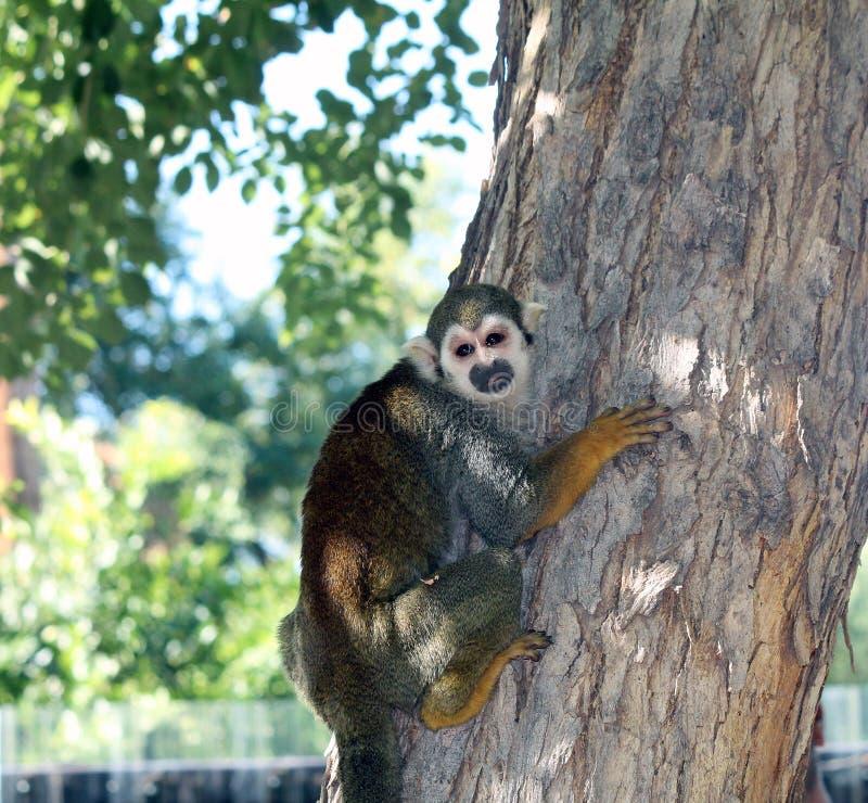 Squirrel Monkey at the Zoo. Phoenix, Arizona royalty free stock photos