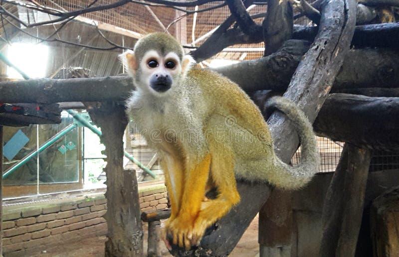 Squirrel monkeys sitting on tree branch stock image