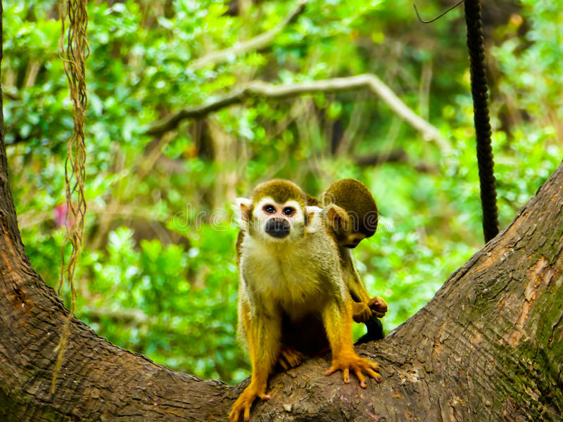 Squirrel monkeys on a tree stock photos