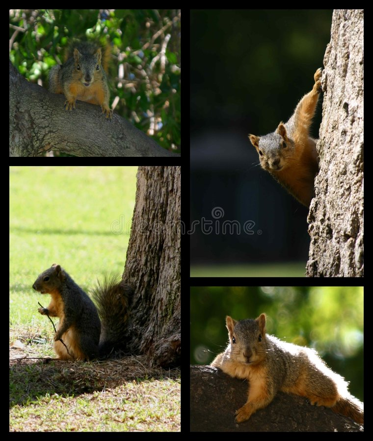 Squirrel montage. Montage of squirrels and trees royalty free stock photography