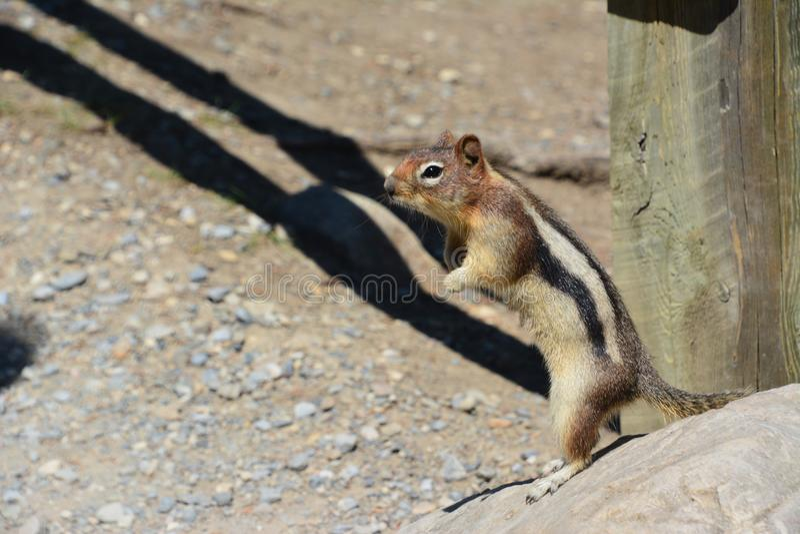 Squirrel moraine lake Banff. Squirrel at Moraine lake Banff national park royalty free stock photo